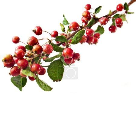 rote Äpfel auf einem Zweig