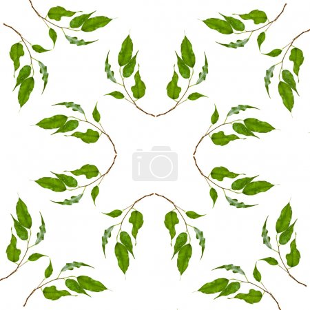 Foto de Abstract Frame Pattern of green leaves of ficus tree isolated on white background - Imagen libre de derechos