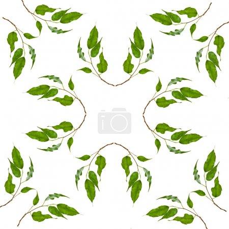 Photo pour Cadre abstrait Modèle de feuilles vertes de ficus isolé sur fond blanc - image libre de droit