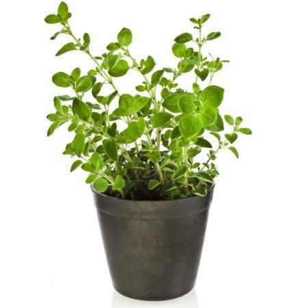 Fresh flavoring herbs oregano