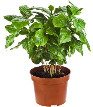 Coffee plant tree growing seedling