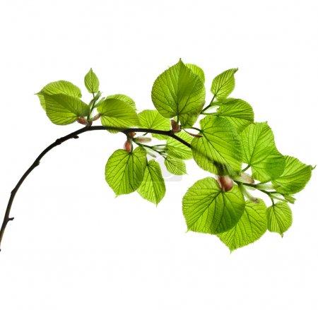 Foto de Rama de primavera con verde fresco hojas aisladas sobre fondo blanco - Imagen libre de derechos