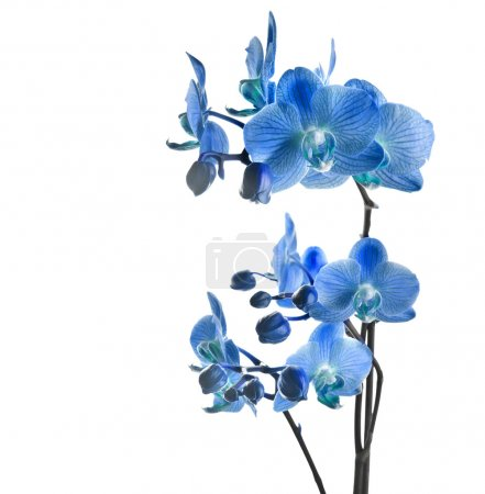 Photo for Blue orchid isolated on white background - Royalty Free Image