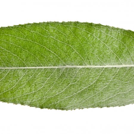 Leaf of silver weeping willow