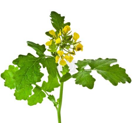 White mustard plant flowering
