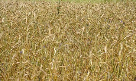 Photo for Field of wheat - Royalty Free Image