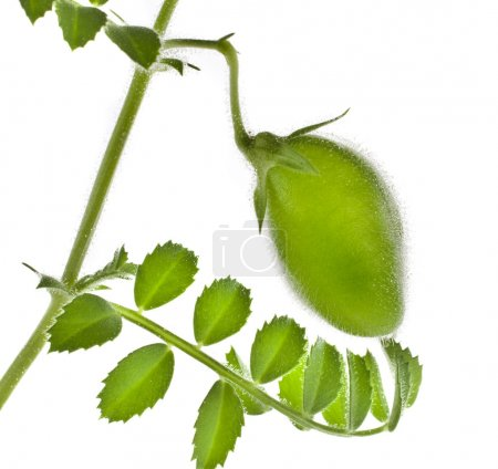 Photo for Green young chick- pea plant sprouts isolated on white background - Royalty Free Image