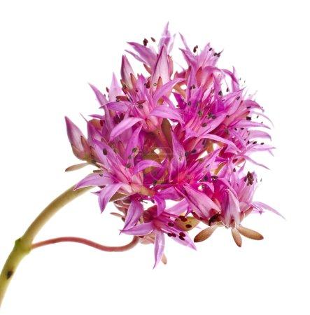 Herbaceous Perennial Plant