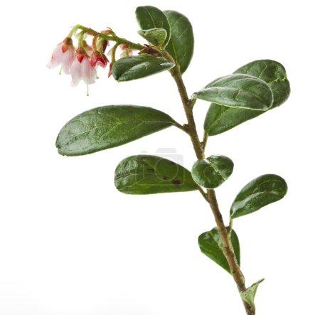 Flowering cowberry plant