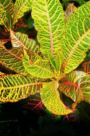 Leaf blade green stripes.