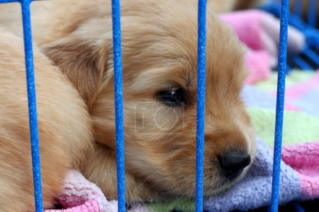 Golden puppies in a cage.