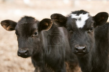Curious Chocolate Cows