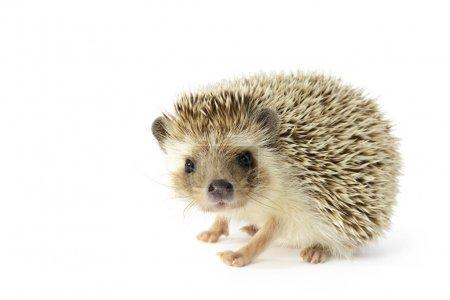 Hedgehog (erinaceus albiventris) isolated on white...