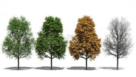 Photo pour Illustration 3D rendue par ordinateur Acer platanoides Four Seasons - image libre de droit