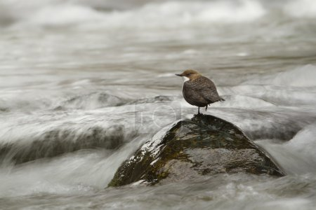 White-throated dipper, bird in middle of river