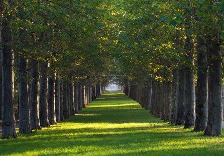 Photo pour Longue allée d'érables et pelouse verte dans un parc au coucher du soleil - image libre de droit