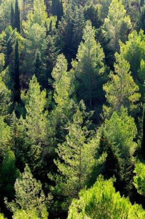Photo pour Vue depuis le haut d'une forêt de pins - image libre de droit