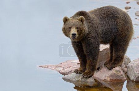 Photo pour Ours brun (Ursus arctos) posant près d'une rivière - image libre de droit