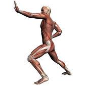 Anatomie člověka - muž svaly