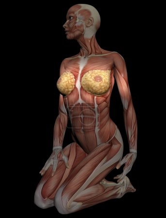 3D model of muscles of female torso for study, with breast in fo