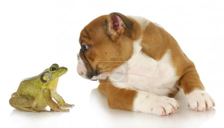 Photo pour Bulldog et bullfrog - bulldog anglais et bullfrog isolé sur fond blanc - image libre de droit