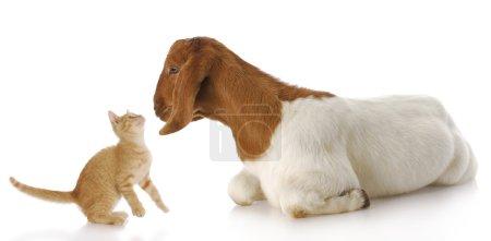 Photo pour Mignon Chevrette chaton et chèvre, interagissant avec les autres par réflexion sur fond blanc - image libre de droit