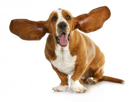 Photo for Happy dog - basset hound with - Royalty Free Image