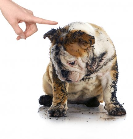 Photo for Bad dog - dirty sad english bulldog being scolded by wagging finger - Royalty Free Image