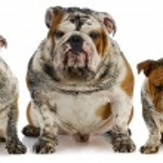 Dirty dogs - five muddy english bulldogs...
