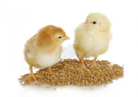 Newborn chicks eating from pile of feed on white b...