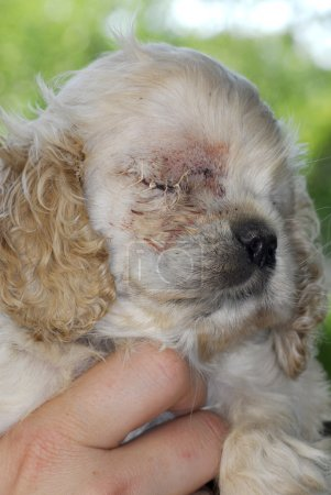 puppy with stitches
