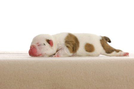 Photo pour Chiot nouveau-né - bouledogue anglais mâle de quatre jours - image libre de droit