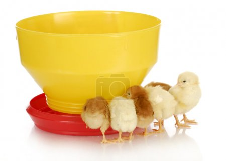 chicks at the feeder