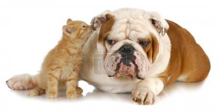 Foto de Gato y perro - lindo gatito susurrando al inglés bulldogs oreja sobre fondo blanco - Imagen libre de derechos