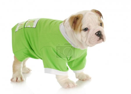 Photo for English bulldog puppy wearing green coat standing with reflection on white background - Royalty Free Image
