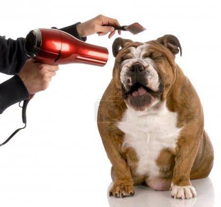 Bulldog being groomed