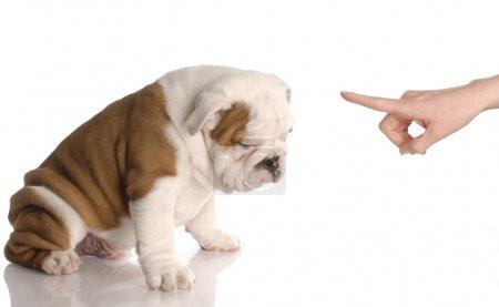 Foto de Perro malo - mano personas moviendo el dedo a nueve semanas de edad bulldog inglés cachorro - Imagen libre de derechos