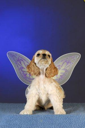 Photo pour Cocker épagneul chiot levant les yeux avec des ailes d'ange sur fond bleu - image libre de droit