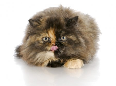 Kitten licking lips