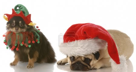 Photo for Pomeranian dressed up as santa elf and pug dressed as santa with reflection on white background - Royalty Free Image