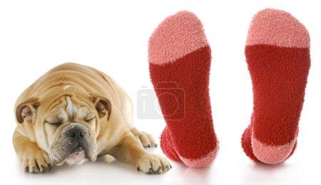 Photo pour Chiot bouledogue avec expression dégoûtée pose à côté de pieds puants propriétaires - image libre de droit