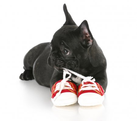 Puppy chewing shoes