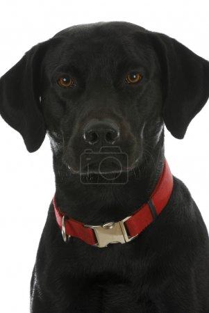 Photo pour Portrait de chien noir - labrador retriever cross - image libre de droit