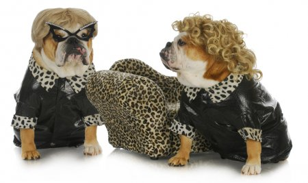 Photo for Diva dogs - two female english bulldogs wearing blonde wigs dressed up in black leather coats - Royalty Free Image