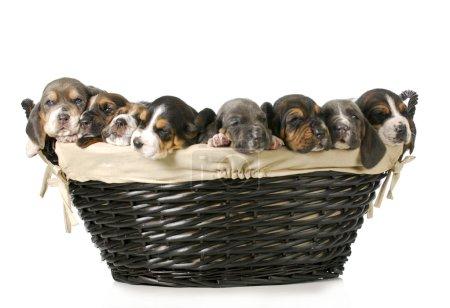 basket of bassets