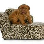 Постер, плакат: puppy on the furniture