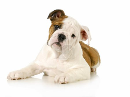 Photo for English bulldog puppy laying down looking at viewer on white background - 4 months old - Royalty Free Image