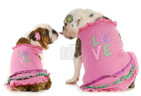 Photo pour Puppy love - deux anglais bulldogs s'embrasser - porter des chemises correspondants qui disent que l'amour - image libre de droit