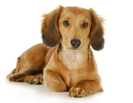 Photo for Miniature dachshund - long haired weiner dog laying down looking at viewer isolated on white background - Royalty Free Image