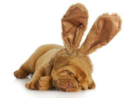 Foto de Perrito con orejas de conejo - perro de Burdeos con orejas de conejo de Pascua sobre fondo blanco - 4 semanas - Imagen libre de derechos